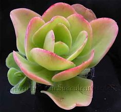 Echeveria pallida...large lime green leaves and loose rosettes to 25cm. Offsets freely to form clusters