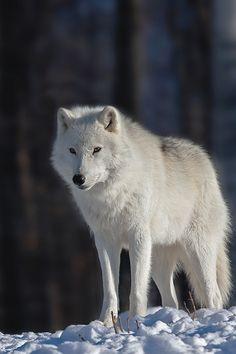 "luxuryera: ""Arctic Wolf | Photographer """