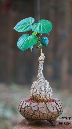 Weird Plants, Rare Plants, Exotic Plants, Cool Plants, Home Garden Plants, Bonsai Garden, House Plants, Cacti And Succulents, Planting Succulents