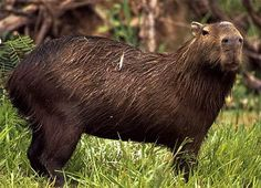 Chiguire o Kapibara se encuentran en los llanos venezolanos