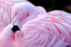 I live in Florida and have seen Flamingos at the Zoo,but have never seen pink ones. They are normally a peachy shrimp color. Pretty Birds, Beautiful Birds, Animals Beautiful, Flamingo Art, Pink Flamingos, Flamingo Wallpaper, Flamingo Photo, Flamingo Tattoo, Exotic Birds