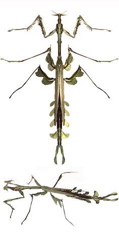 Paratoxdera sp.