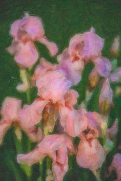 Pink Iris Family By Omaste Witkowski owFotoGrafik.com