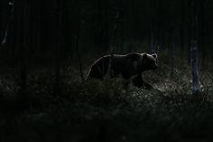 Wild Brown Bear by Chris Schmid on 500px