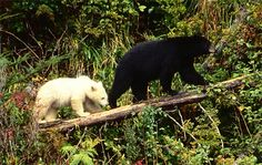 Kermode bear on left (a subspecies of black bear), black bear on right. Population of Kermode bears estimated under 1300. Due to the remote and unspoiled territories that these bears live in, they are neither accustomed nor fearful of man. Newborn cubs weigh up to a pound. When fall arrives the mother bear finds a suitable place to den such as a hollow tree trunk.