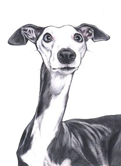 Whippet art print whippet art images signed by JimGriffithsArt