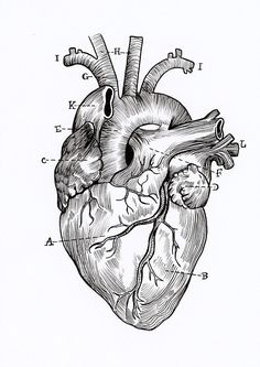 High Quality Print Linework Anatomical Heart Drawing Great for someone who loves science, the macabre or as a romantic gift. (Well, I think I'd find it romantic? Medical Drawings, Medical Art, Heart Illustration, Medical Illustration, Anatomical Heart Drawing, Anatomical Heart Tattoos, Heart Anatomy Tattoo, Heart Anatomy Drawing, Human Heart Tattoo