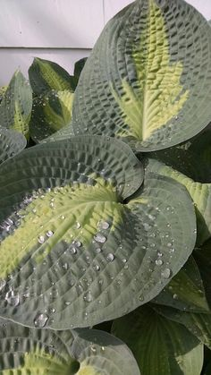 If slugs are eating your hosta, why not try beating them to it? Hosta leaves are edible and taste somewhere between lettuce and young spinach. Foundation Planting, Aquaponics, Lawn And Garden, Lettuce, Habitats, Spinach, Bugs, Garden Design, Garden Ideas