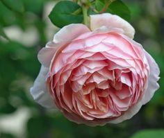 Leander Rose