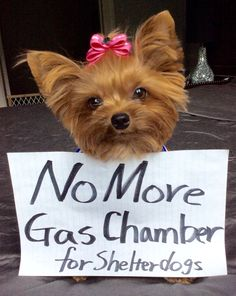 "Lil yorkie Coby says ""No more!!! no more gas chamber for shelter animals!!!"" Please help spread the words!!"