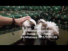 Von Javelline Kennel jual anjing Shih-Tzu - YouTube