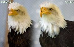 Bald eagle with 3D printed prosthetic beak