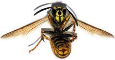 Ak vám vletí do úst a v hrdle uštipne včela, môže dôjsť k opuchu a zablokovaniu dýchania. V článku sa dozviete, čo robiť v takomto prípade. Bugs And Insects, Wasp, That Way, Health And Beauty, The Help, Bee, Survival, Animals, Co Dělat
