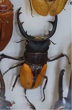 A stag beetle from the Oxford University Natural History Museum with startling ochre strings on the lower body.