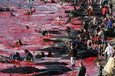"Sea Shepherd Global startet Operation ""Bloody Fjords"""