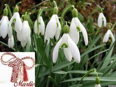 Ghiocei 1 martie Spring Flowers, Plants, Image, Desktop, Van, Beauty, Mariana, Deserts, Plant