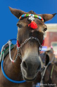 Mule in Fira, Santorini