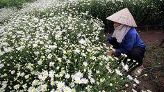 - Mulher trabalha na colheita de flores em Hanói, no Vietnã. Foto: Luong Thai Linh / EFE