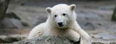 Eisbär Knut Rätsel um Knuts Tod gelöst Berlins berühmter Eisbär starb an einer fehlgeleiteten Immunreaktion im Gehirn. Unter der erst seit Kurzem bekannten Krankheit leiden auch viele Menschen - ohne es zu wissen.