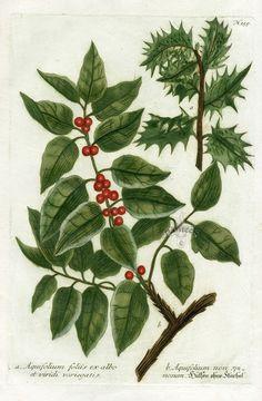 Johann Weinmann Botanical Prints 1737