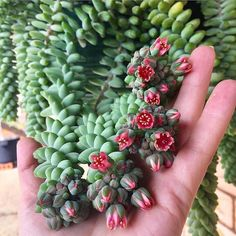 37 Ideas Donkey Tail Succulent Care For 2019 Crassula Succulent, Propagating Succulents, Succulent Gardening, Cacti And Succulents, Planting Succulents, Planting Flowers, Succulent Care, Blooming Succulents, Succulent Containers