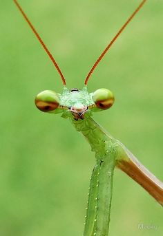 """PLEASE VIEW LARGE – Sphodromantis gastrica – I photographed this mantis in my garden – From head to tail it measured approx 40mm or 1,5"""" / Cape Town, Western Cape, South Africa / Views: 15 174 – 14 July 2015 • Buy this artwork on apparel, stickers, phone cases, and more."""