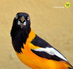 I said: Leave me alone! Oriole Curacao birds  meetcuracao.com