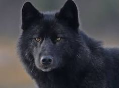 Bildergebnis für wolf