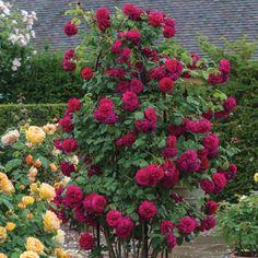 Tess of the dUrbervilles English Climbing Rose David Austin Roses David Austin Climbing Roses, David Austin Roses, Deadheading Roses, Rose Delivery, Rose Garden Design, Rose Care, Heirloom Roses, Landscape Design Plans, Old Rose