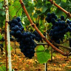 Vita de vie : Ghid complet de plantare intretinere si tratamente. Grape Trellis, Pinot Noir, Pergola, Foods, Drinks, Agriculture, Plant, Food Food, Drinking