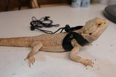 bearded dragon harness .. super weird but will be needed if we want to take him outside to play!