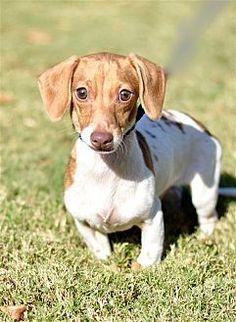 Canton, GA - Dachshund Mix. Meet Bronko, a puppy for adoption. https://www.adoptapet.com/pet/19555703-canton-georgia-dachshund-mix