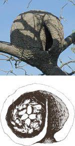 Los horneros tienen dos pichones por nidada. Los huevos, de forma ovoidal, son blancos y miden 21 x 28 mm.   Una vez deshabitado, el viejo nido es ocupado por otras aves, entre las que se encuentran gorriones, golondrinas y ratonas.