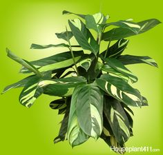 How to Grow a Ctenanthe Plant - Ctenanthe Care Guide Indoor Flowers, Indoor Plants, Indoor Garden, Prayer Plant, House Plant Care, Poisonous Plants, Mother Plant, Plant Identification, Plants