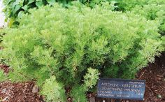 The Garden Geeks Plant of the Day:  Southernwood (Artemisia abrotanum) Perennial Zone 5-8 To read more or find a supplier
