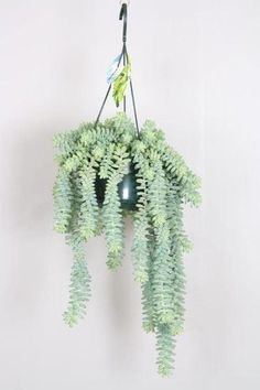 Sedum 'Burrito' or 'Burrow's Tail' Plant in a 15cm Hanging Pot. Rarely Seen