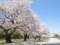 Which cherry blossom tree is your favorite?