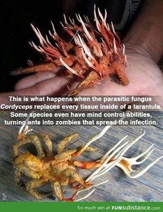 Chordyceps, an advanced fungus capable of ressurecting dead insects, are often rumored to spread to humans. In turn, you get zombies.