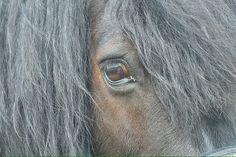 Shetland-Partbred Pony