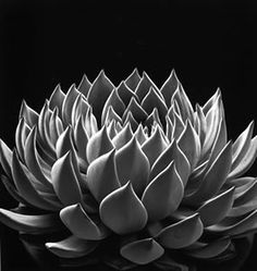 Don Worth - Succulent Echeveria Radiance
