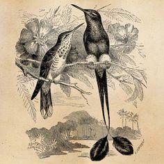 Vintage Hummingbird Illustration Printable by SilverSpiralStudio