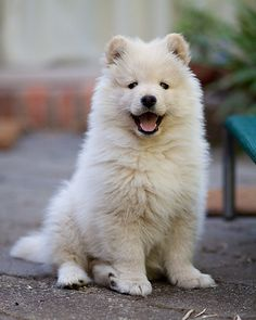 Finnish Lapphund puppy, so cute.
