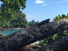 Iguana in Manuel Antonio National Park.  http://www.gpstravelmaps.com/gps-maps/central-america/costa-rica.php
