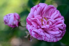 'Georges Vibert' Gallica Rose (one of my favorites!!)