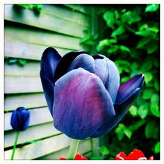 My almost black tulip