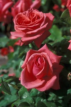"""Fragrant Cloud""  Hybrid Tea Rose"