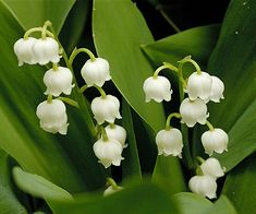 Love lily of the valley flowers. Types Of Flowers, White Flowers, Beautiful Flowers, May Birth Flowers, Growing Lilies, British Wild Flowers, Dry Shade Plants, Lily Of The Valley Flowers, Love Lily