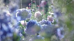 The perfect Flower Flowers Pretty Animated GIF for your conversation. Discover and Share the best GIFs on Tenor. Flowers Gif, Blue Flowers, Lavender Flowers, Gif Animé, Animated Gif, Gifs, Santa Lucia, Animation, Aesthetic Gif