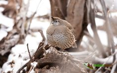 Female California Quail roosting above the by EndlessNatureImages