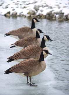 Geese on the ice in Toronto, Canada. Love Canadian geese. We have our share in Boise. Traffic stops for them ,as they own the city.